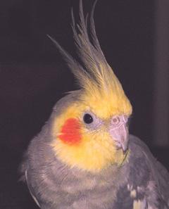 "This is my cockatiel ""tweet"" Koko"